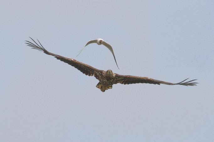 Seeadler mit Lachmöwe Kattingerwatt Nordsee, Mai
