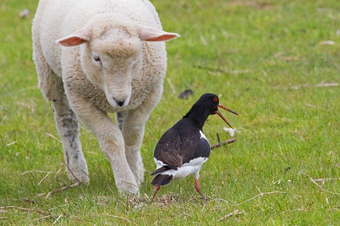 Das Schaf kommt dem Geleg vom Austernfischer zu nahe.