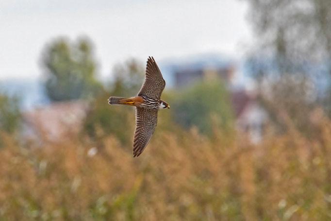 Baumfalke, Neeracherried 22. September 2018