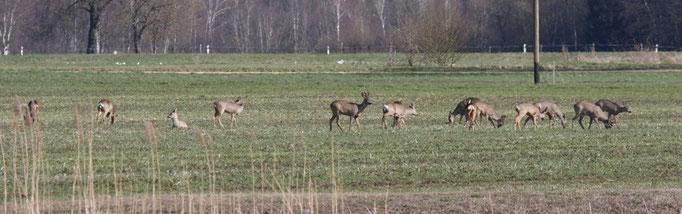 Ein Trupp Rehe auf dem Felde