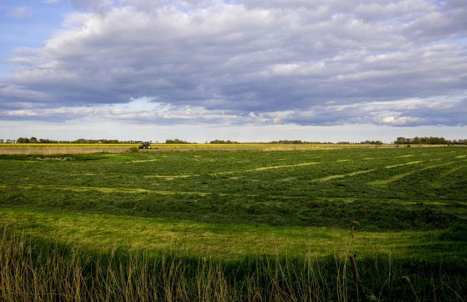Grünland auf Eiderstedt