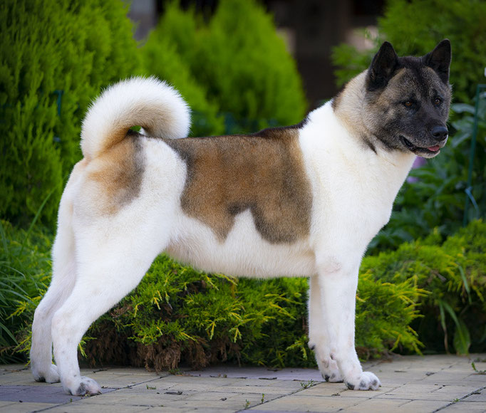 American Akita INDI - All for ALMIGHTY kennel