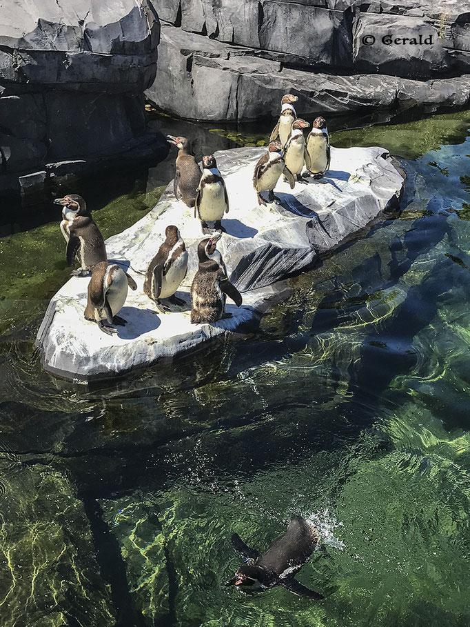 Humbolt pinguins