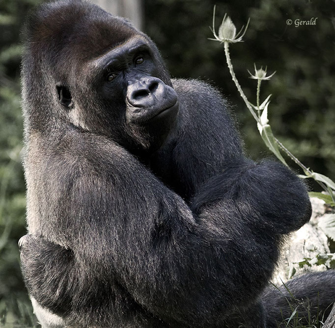 Jambo, silverback leader at Apenheul