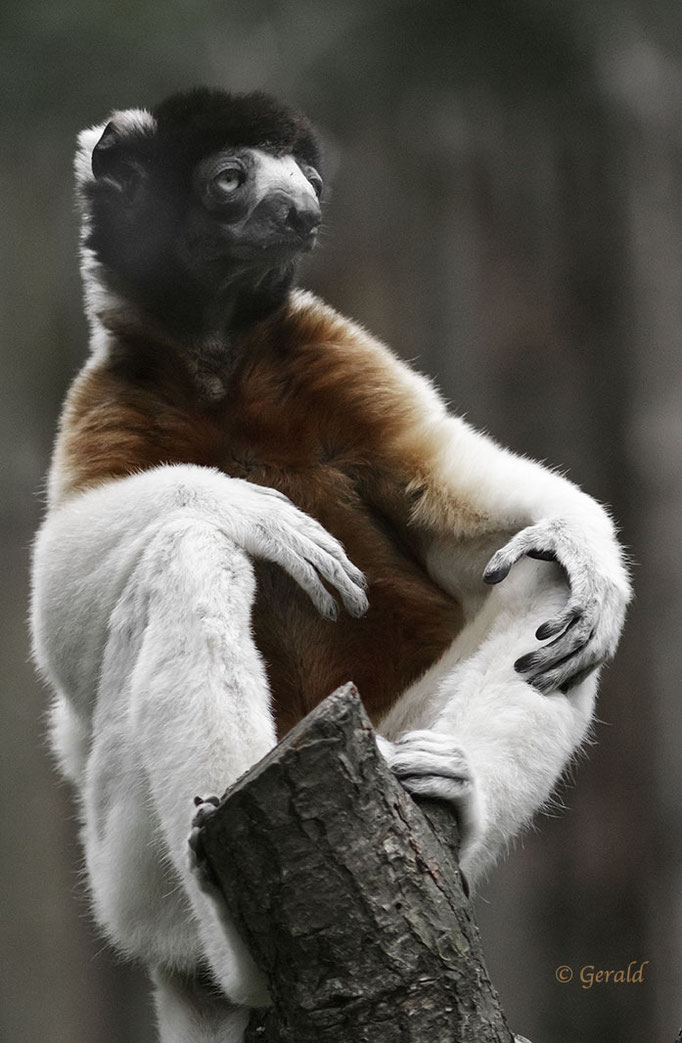 Crown sifaka