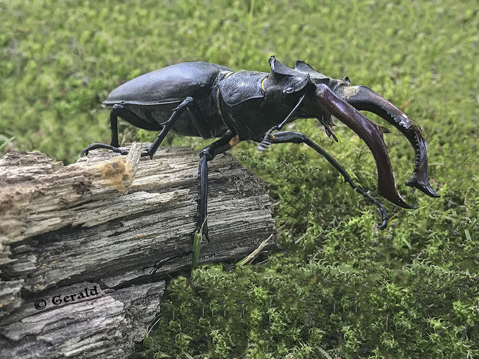 A stag-beetle / vliegend hert