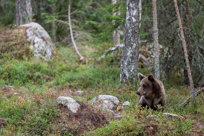 Brown Bear, Sweden