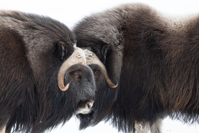 Musk Ox, Norway