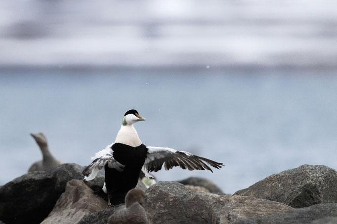 Eider duck, Svalbard