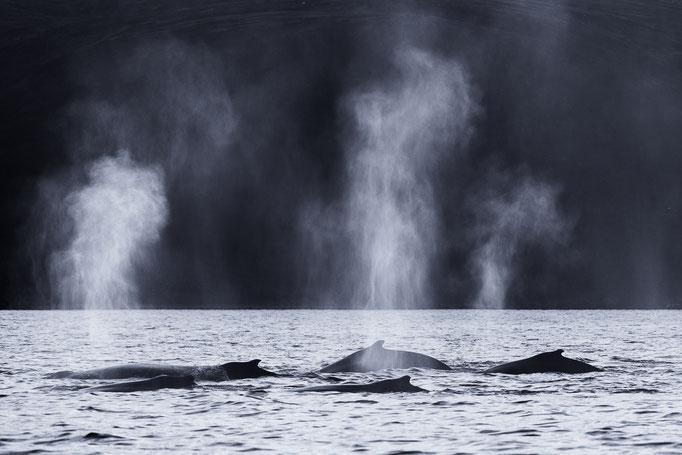 Humpback whale pod, Norway
