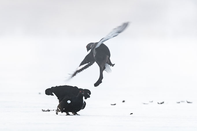 Black Grouse, Sweden