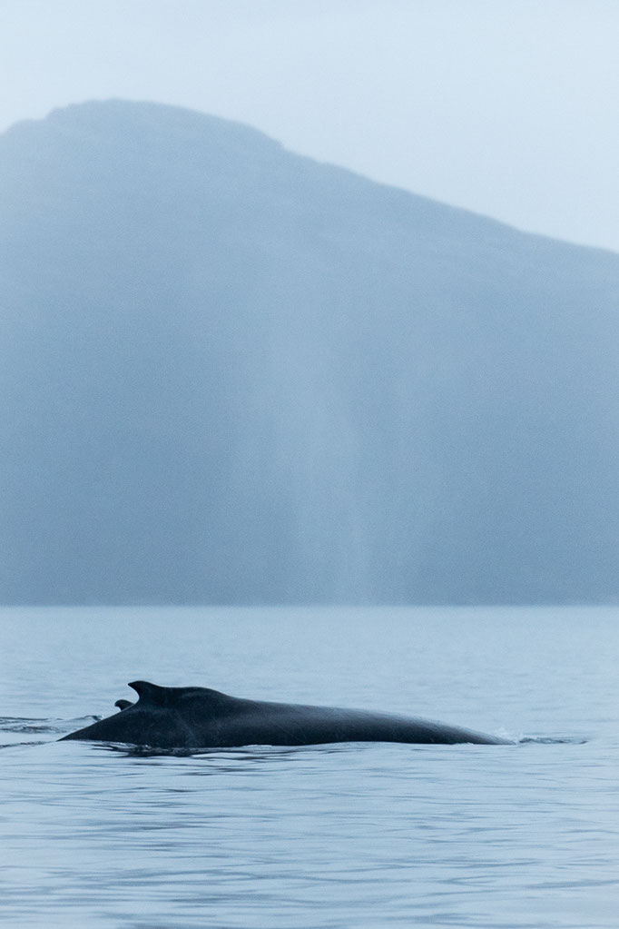 Humpback whale, Norway