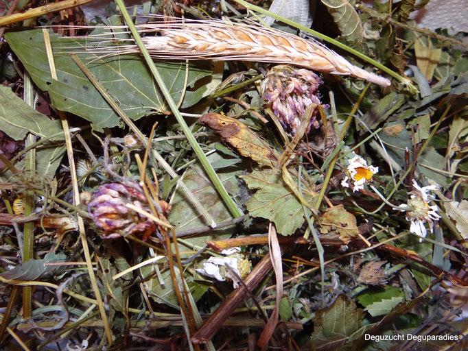 Zusammensetzung: Rotklee, Gänseblümchen, Kornähren, ver. Blätter, ver Kräuter