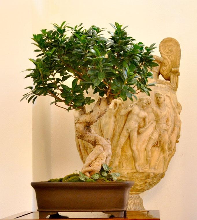 Ficus di Tiziano Tessaro