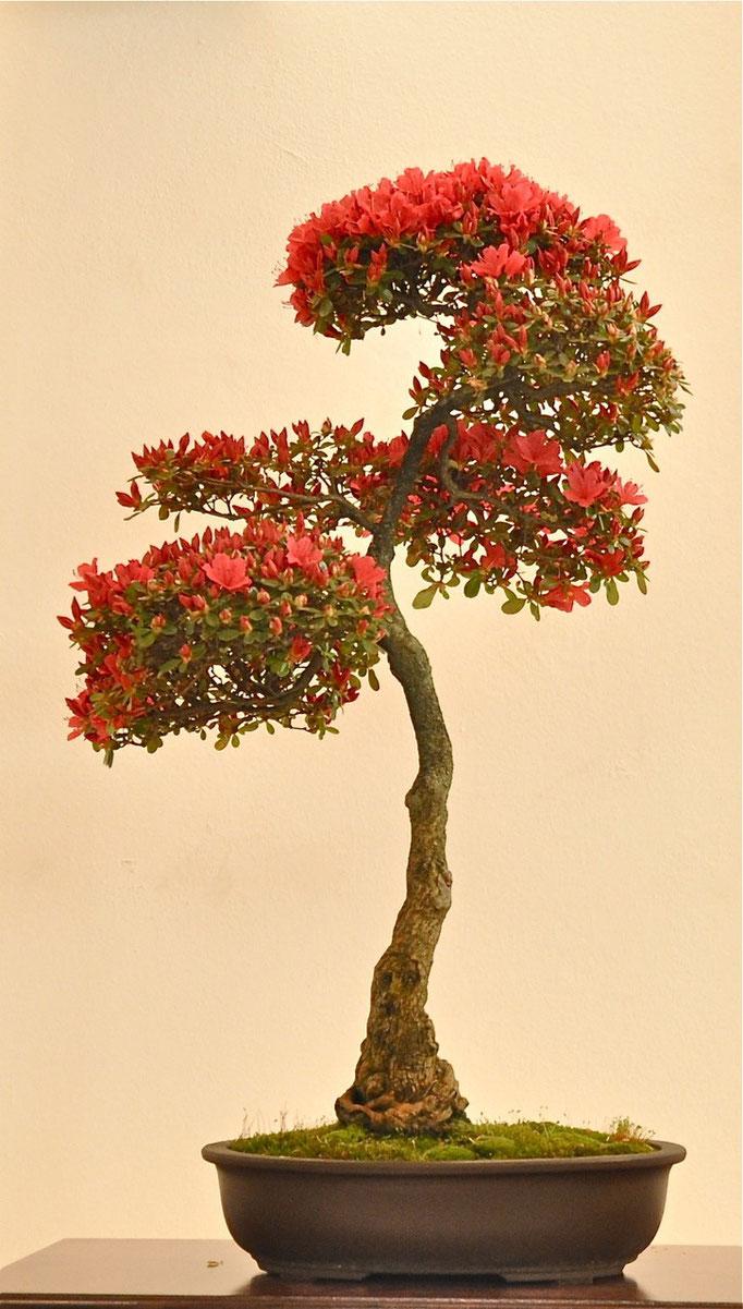 Azalea di Franco Bergamini