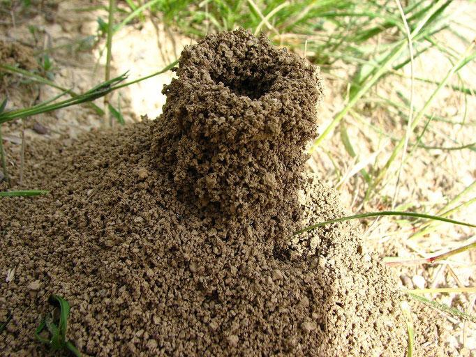 surement une petite fourmiliére ( environ 7 cm de haut sur un diametre de 3 cm )