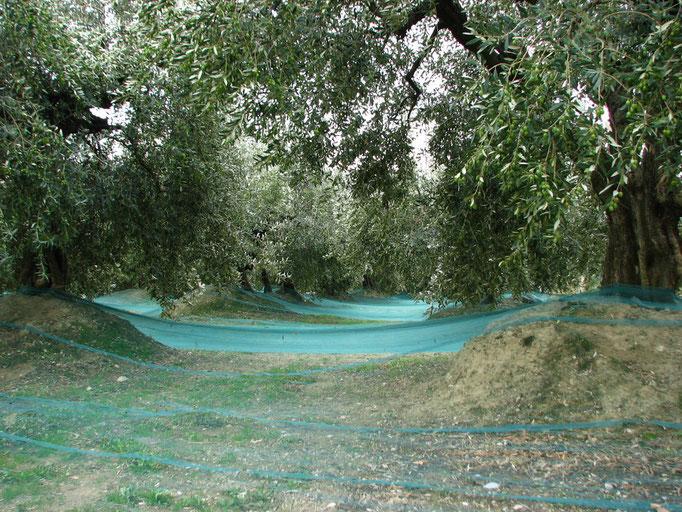 Filets sous les oliviers pour la queuillette