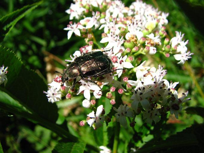 scarabée
