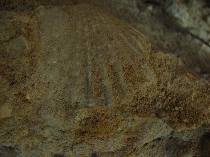 fossile trouvée a l'etang St Louis a Suze