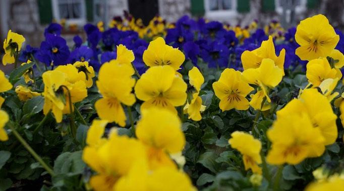 Viola cornuta - trotz auch dem Schnee