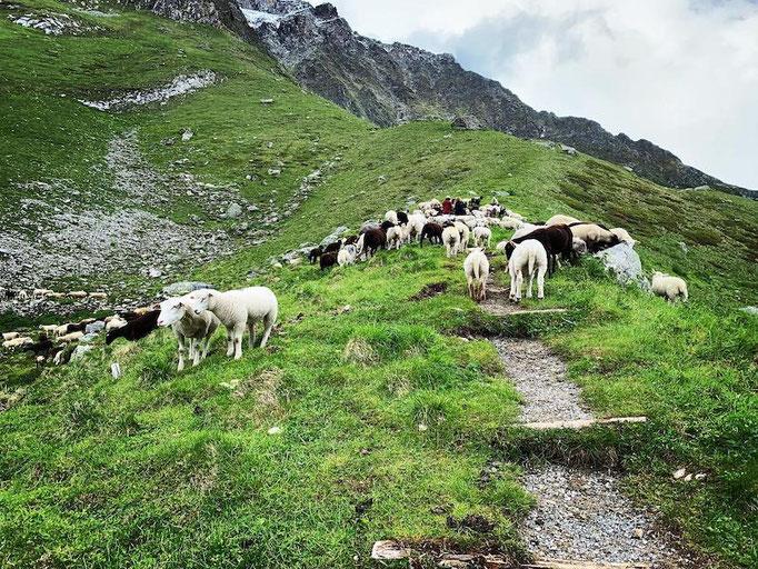 Schafe Bäregg