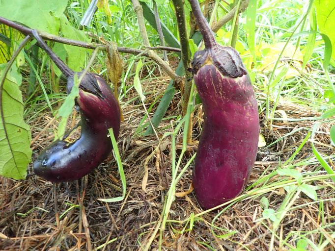 種取り用の無肥料栽培のナス。何年か繰り返すと、その土地の風土に適応し、無肥料に向いた力のあるナスになっていきます。