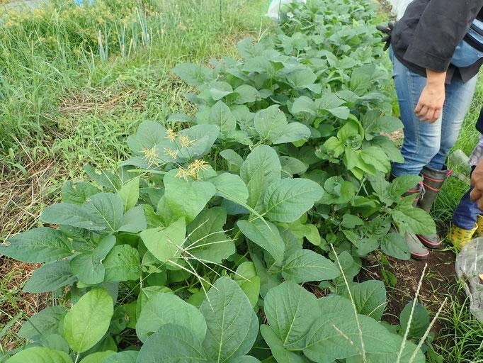 津久井在来大豆もちょうど花の時期に雨が。