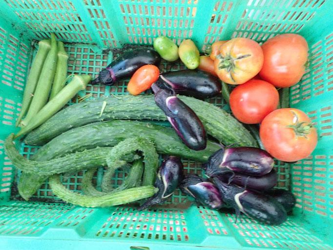 雨の収穫。キュウリ、トマト、ナス、オクラほかにも色々