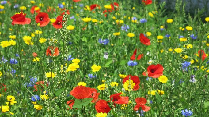 Bunte Blumenwiese vor dem Haus Wendler
