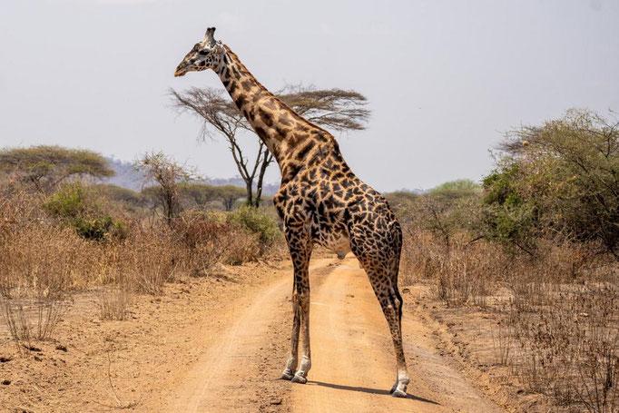 Giraffe im Ruaha