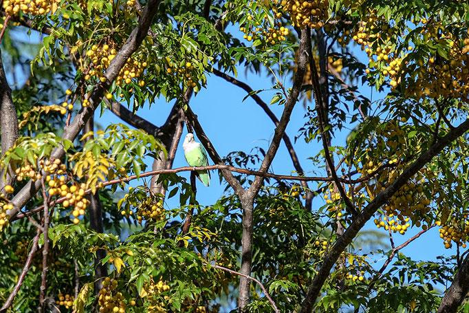 Grauköpfchen-Papagei