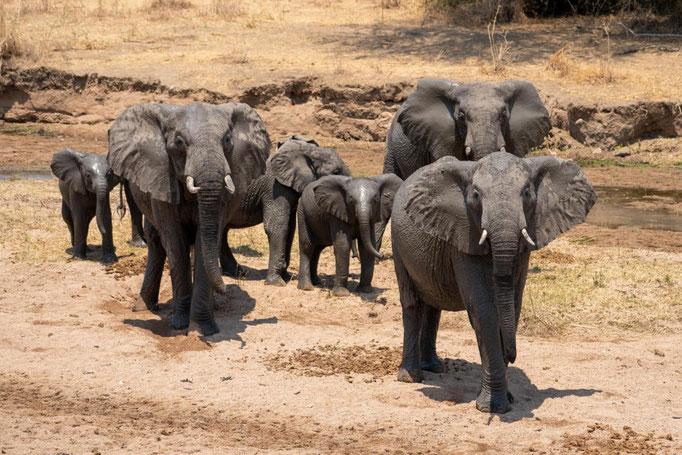 Elefantenherde schützt Junge