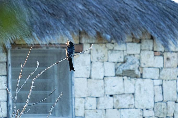 Drongo - der König der Vögel auf Madagaskar