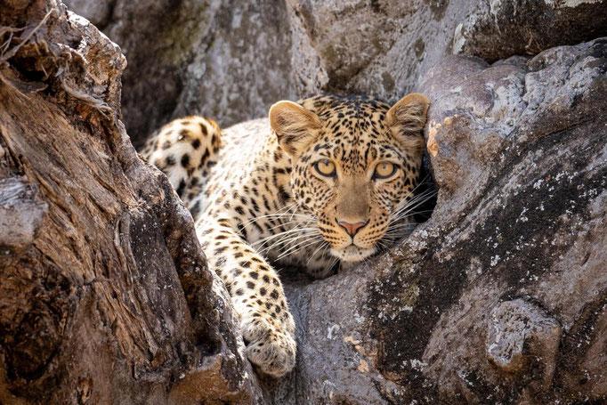 Leopard auf einem Baum