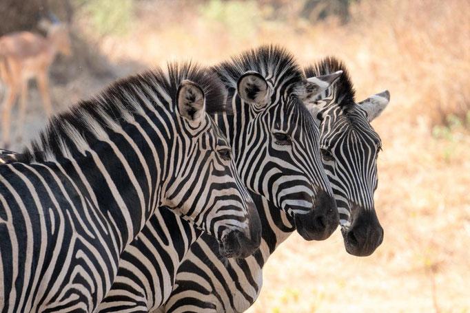 Zebras im Ruaha