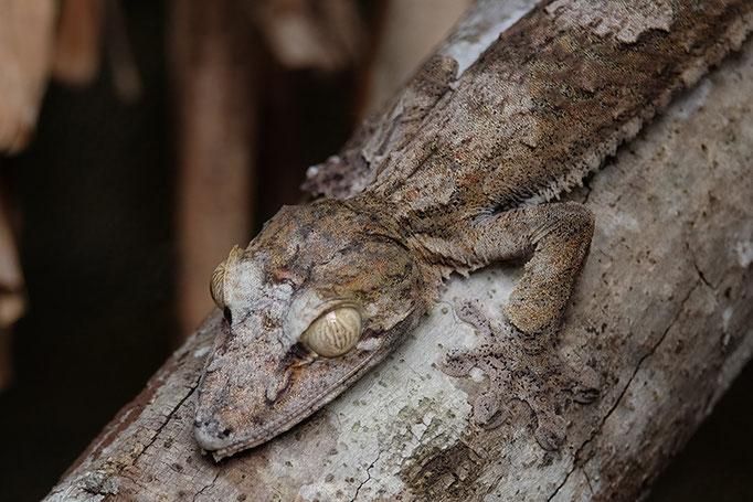 perfekt getarnter Gecko