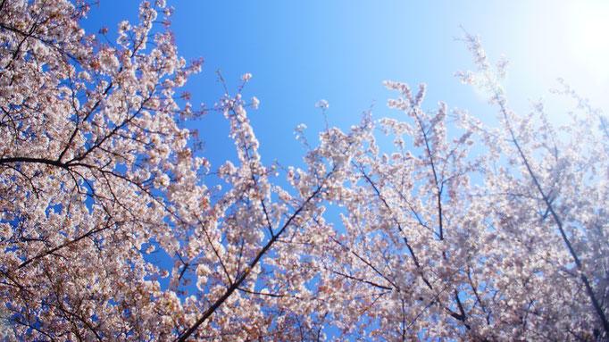 ある桜の日に、