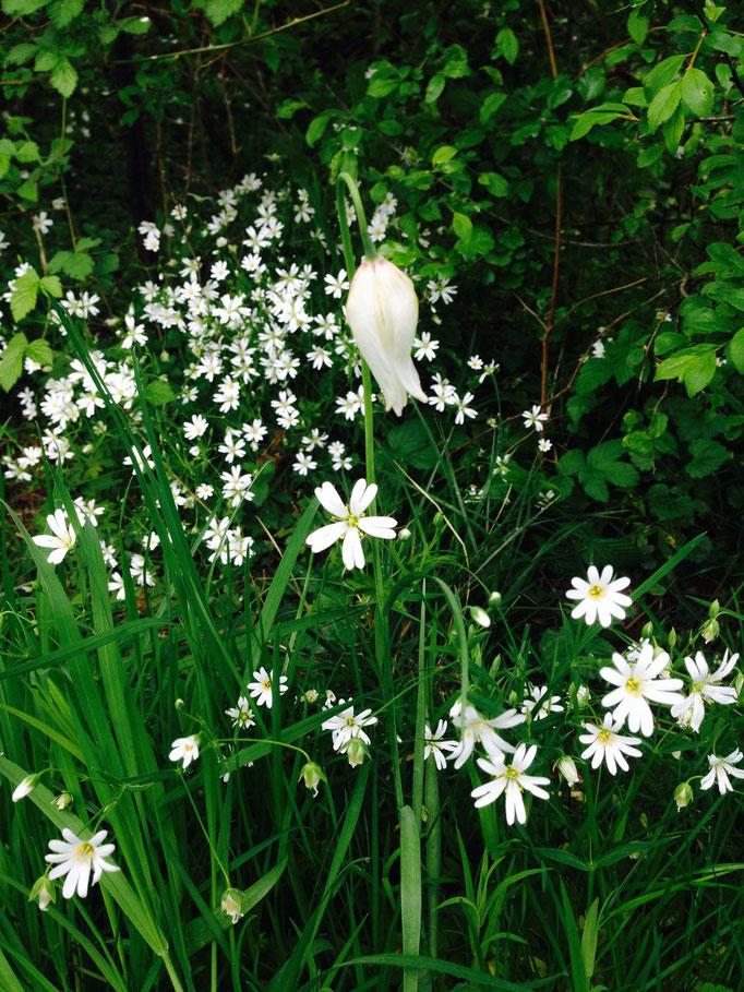Schachbrettblume weiß