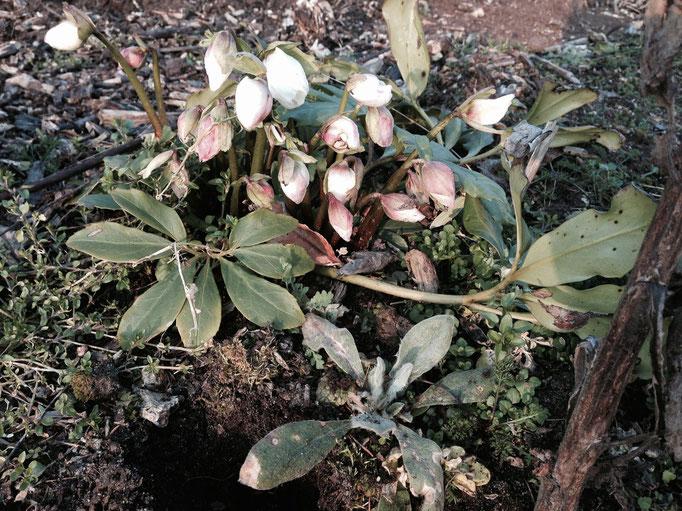 Hier blüht die Christrose auch Schneerose oder Weihnachtsrose genannt. Sie ist eine Pflanzenart der Gattung Nieswurz in der Familie der Hahnenfußgewächse.