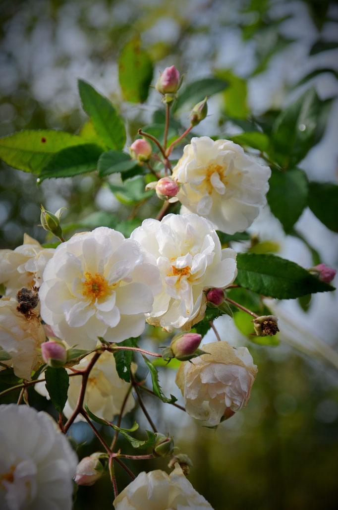 'Jean-Jacques Rousseau' fleurit tard en saison. Ici en octobre.