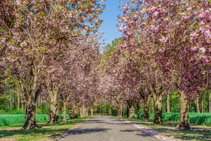 Kirschblüte Wenstrup