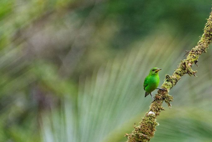 Green Honeycreeper oder Golden-browed Chlorophonia