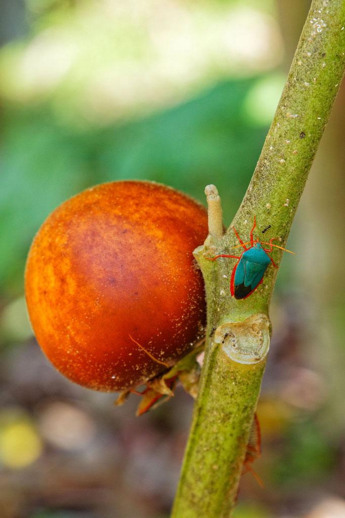 Baumtomate mit Käfer