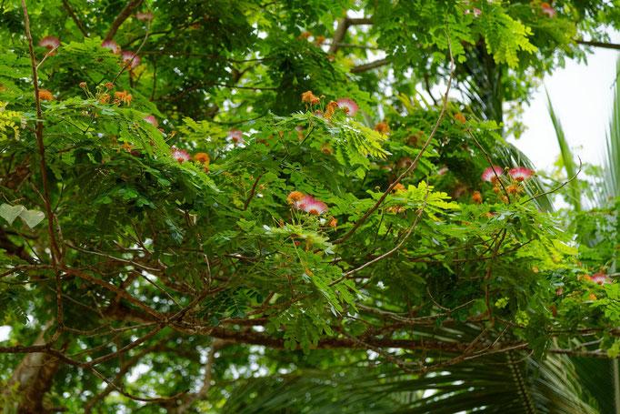 Die Blüten des Regenbaums