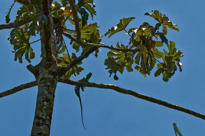 Grüner Basilisk Stirnlappenbasilisk auf dem Baum