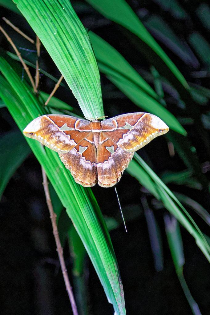 Cuatro Ventanas - riesiggroßer Schmetterling