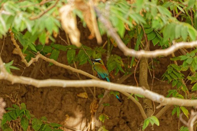 Turquoise-browed Motmot  Sägeracke