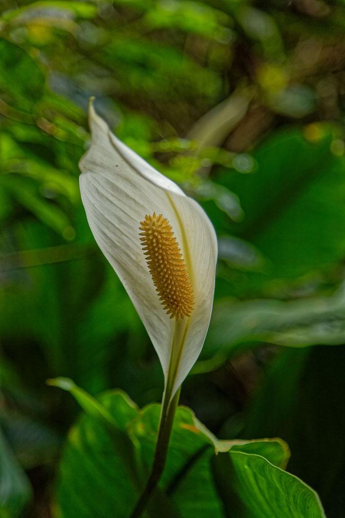 Scheidenblatt Spathiphyllum floribundum