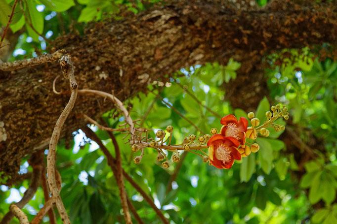Die Blüten des Kanonenkugelbaums