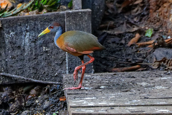 Grey-necked Wood-Rail Cayenne-Ralle